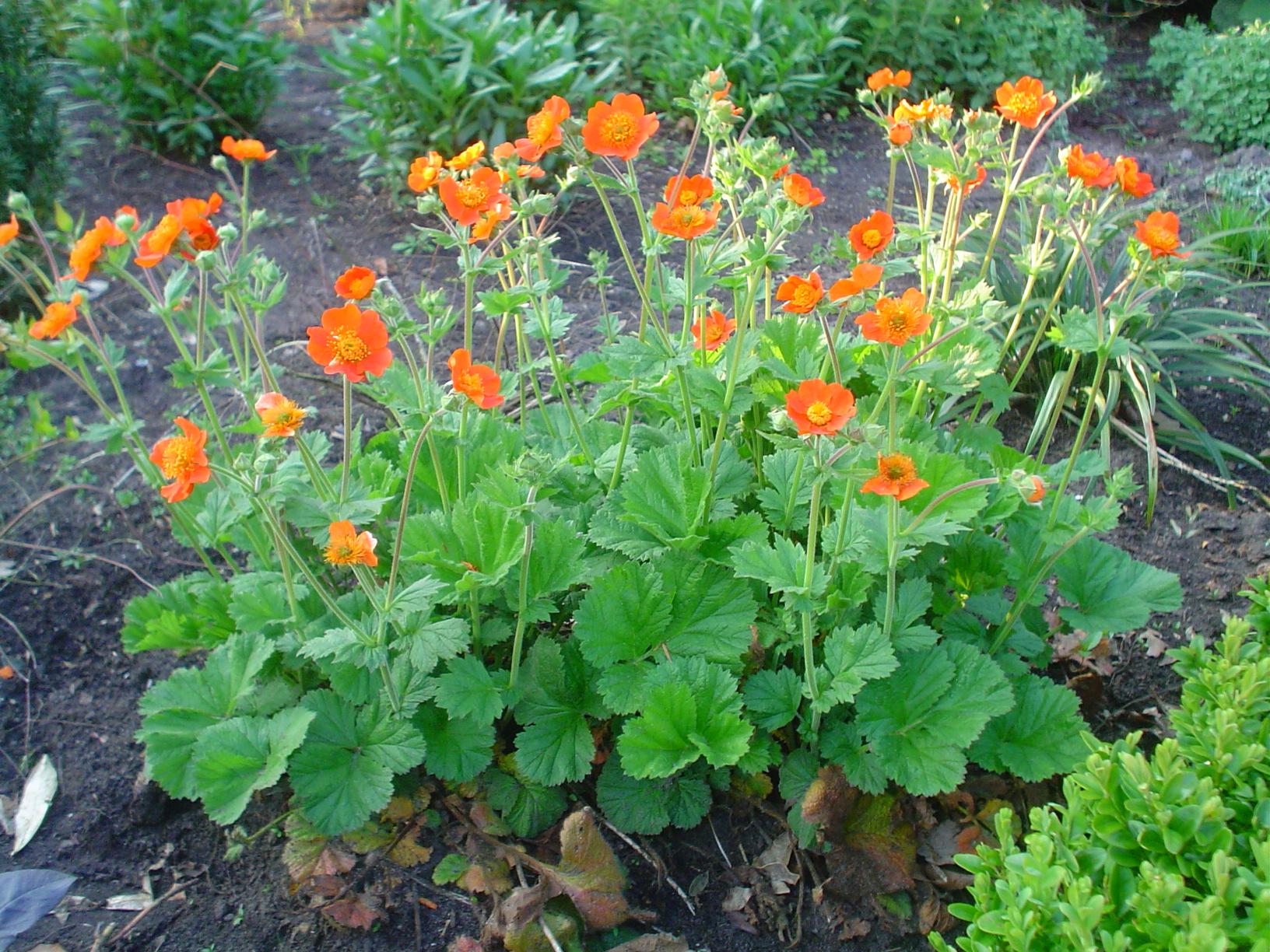 Flores silvestres de la cordillera cantabrica: ROSACEAS